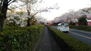 桜通り側道